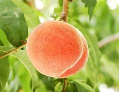 山梨桃ブランドの最高峰 春日居の桃
