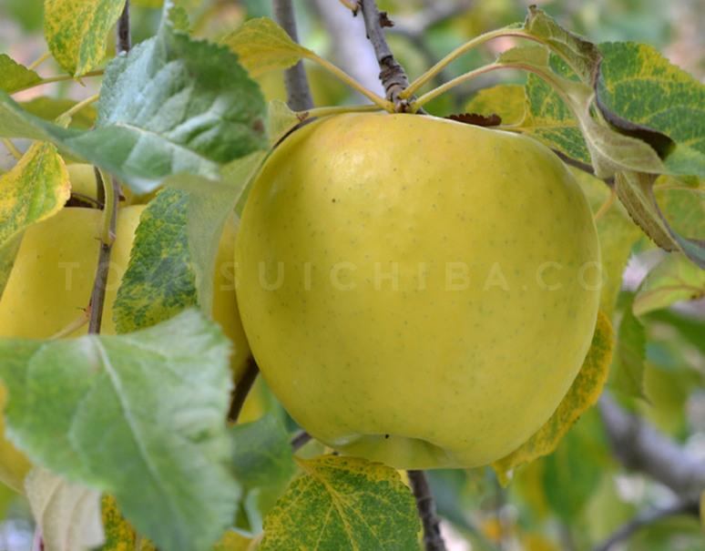 名 りんご ぐんま 月 ぐんま名月 めいげつ