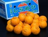 『しもやけしらぬひ』愛媛県三崎産柑橘 M〜3Lサイズ 約5kg (目安として16〜29玉)※常温