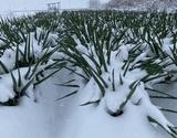 佐藤忠保さんの『厳冬の雪下ねぎ』福島県会津若松産 計約4kg (1箱10本前後×2箱)