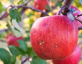 ちょっと訳あり 大野農園 復活アップル『完熟サンふじ』 福島県石川町産りんご 約3kg(8〜10玉)