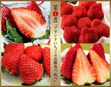 【第一弾】『ブランドいちご4品種食べ比べ』 約1kg(いちごさん、あまおう、スカイベリー、きらぴ香)