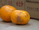 池本ゆたか農園の『訳ありせとか』愛媛県興居島産柑橘 S〜3Lサイズ 風袋込 約5kg ※常温