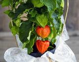 『ほおずき』 鉢植え 観賞用 5寸(実付) 茨城県三和園芸 葛西市場出荷 ※常温