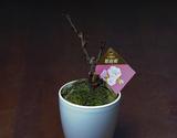 葛西市場よりお届け『旭山桜(八重咲)』1鉢 (目安として:鉢込みで約25cm前後) ※常温
