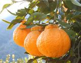 『あらせんデコポン』長崎県産柑橘 約5kg(風袋込)×2箱 大〜小サイズ(1箱あたり目安8〜28玉)キズ、ヤケ、スレあり果 産地箱 ※常温
