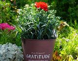 自然開花を楽しむ『母の日カーネーション』 国産 鉢植え5号鉢 赤(グラサージュ) ブリキの化粧鉢・定型メッセージピック・説明書・肥料付き
